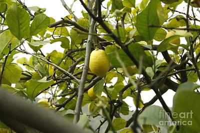 Sicilian Lemon Tree Poster
