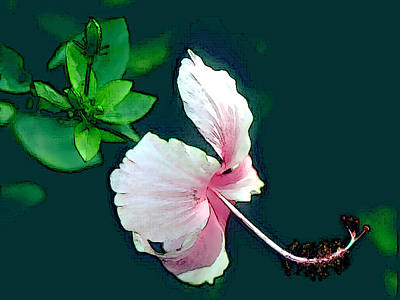 Side View Of Pink Hibiscus Blossom Poster by Elaine Plesser