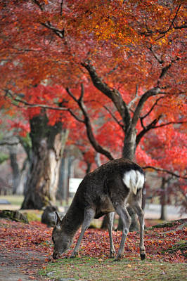 Sika Deer In Autumn Colors Poster by Myu-myu