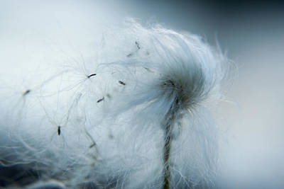 Silken Fibers Of Cotton Grass Poster by Michael Melford