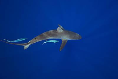 Silky Shark Poster