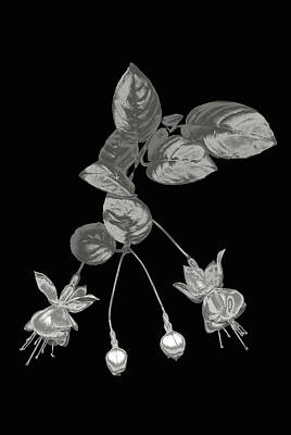 Silver Fuchsia Flowers On A Black Background Poster