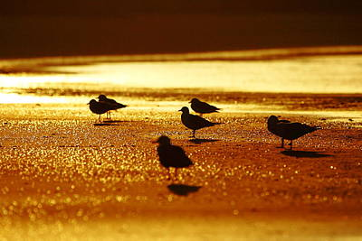 Silver Gulls On Golden Beach Poster by Andrew McInnes