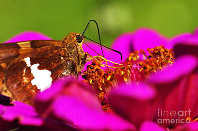 Silver-spotted Skipper On Zinnia Poster by Thomas R Fletcher