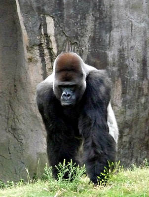 Poster featuring the photograph Silverback by Jo Sheehan