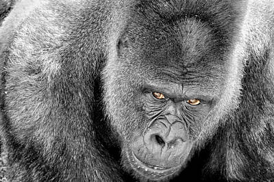 Poster featuring the photograph Silverback Staredown by Jason Politte