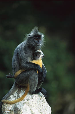 Silvered Leaf Monkey And Baby Poster by Cyril Ruoso