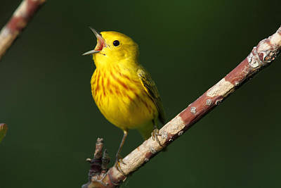 Singing Yellow Warbler Poster by Doug Lloyd