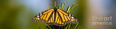 Single Monarch Butterfly Poster by Darcy Michaelchuk