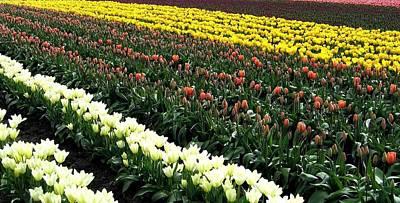 Skagit Valley Tulips 11 Poster