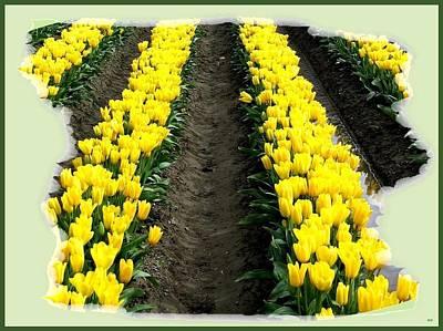 Skagit Valley Tulips 2 Poster by Will Borden