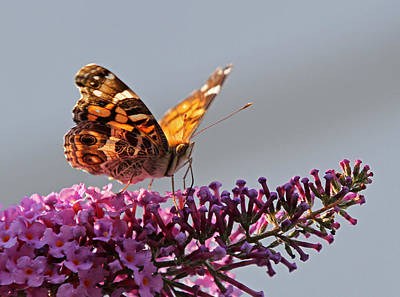 Skipper Butterfly Sipping Nectar Poster