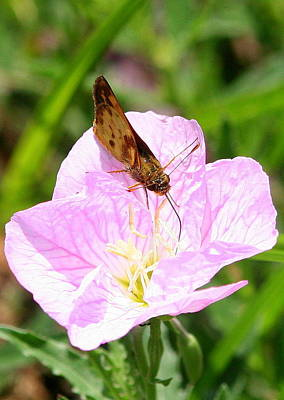 Poster featuring the photograph Skipper On A Primrose by Paula Tohline Calhoun