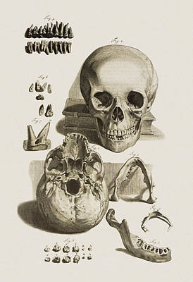 Skull, Jaw Bone And Teeth Poster