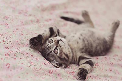 Sleeping British Shorthair Kitten Poster by Melissa Hicks Photography