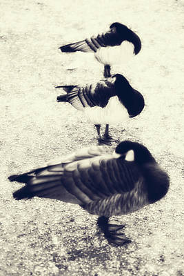Sleeping Ducks Poster by Joana Kruse