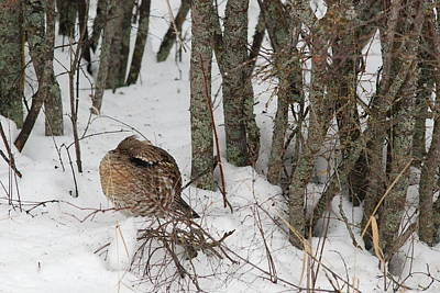 Sleeping Grouse On Snow Poster