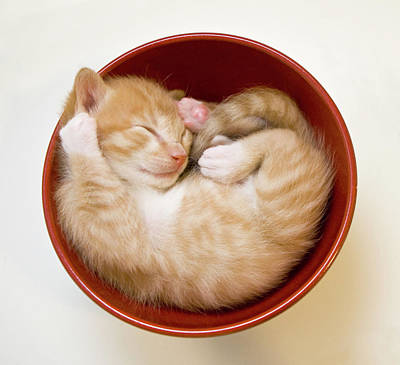 Sleeping Kittens In Bowl Poster by Sanna Pudas