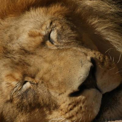Sleeping Lion Poster by Ernie Echols