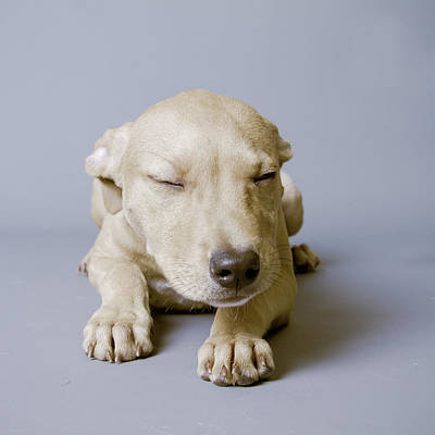 Sleeping Puppy On White Background Poster by Square Dog Photography