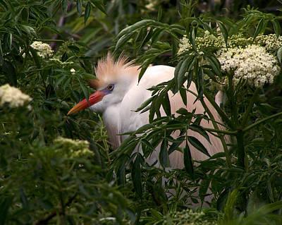 Sleepy Egret In Elderberry Poster