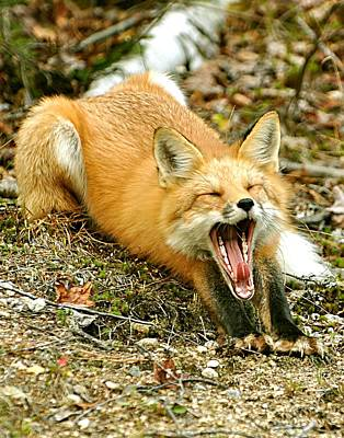 Poster featuring the photograph Sleepy Fox by Rick Frost