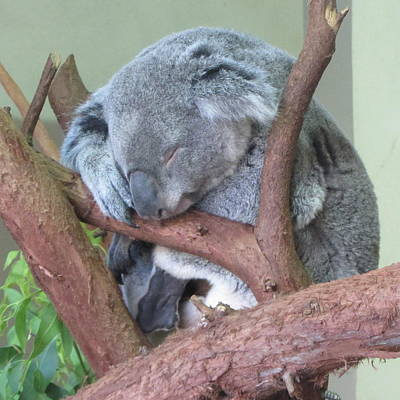 Sleepy Koala Poster by Cathy Lindsey