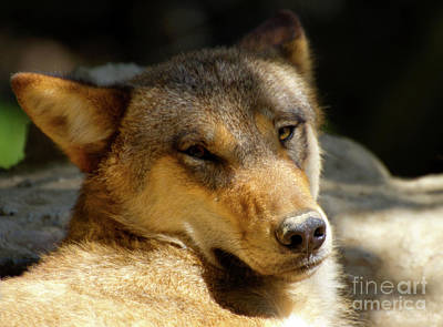 Poster featuring the photograph Sleepy Wolf by Charles Lupica