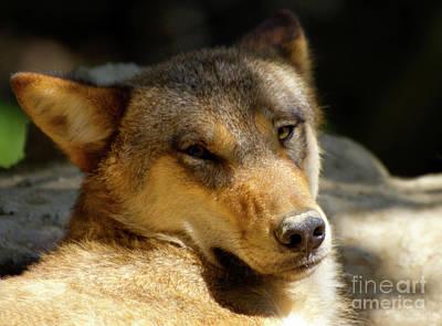 Sleepy Wolf Poster