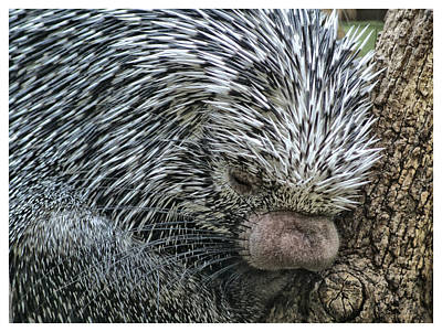 Poster featuring the photograph Slumbering Porcupine  by Yvonne Emerson AKA RavenSoul