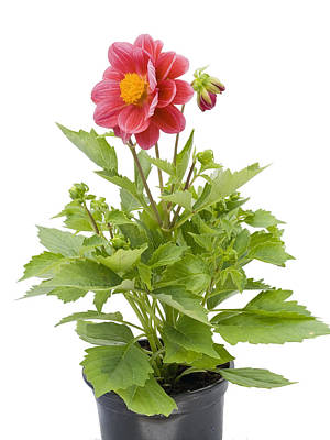 Poster featuring the photograph Small Flower In A Small Pot by Aleksandr Volkov