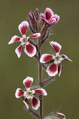 Small-flowered Catchfly Silene Gallica Poster by Jean Claessens