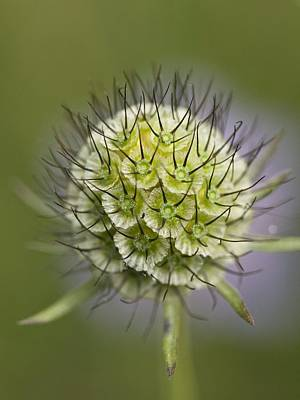 Small Scabious (scabiosa Columbaria) Poster by Adrian Bicker