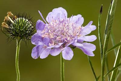 Small Scabious (scabiosa Columbaria) Poster by Bob Gibbons