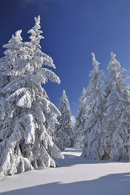 Snow Covered Conifer Trees, Grosser Beerberg, Suhl, Thuringia, Germany Poster
