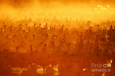 Snow Geese At Sunrise Poster by Craig K Lorenz and Photo Researchers