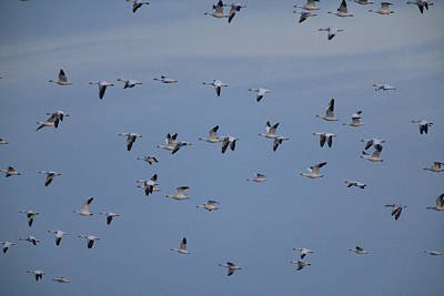 Snow Geese In Flight Poster by George Grall