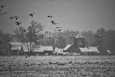 Poster featuring the photograph Snow Geese by Kelly Reber