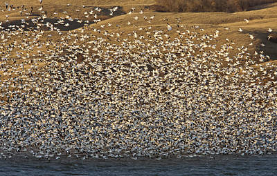Snow Geese On Lake Canada Poster