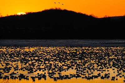 Snow Geese Sunrise Poster