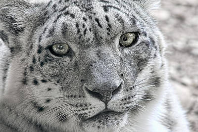 Snow Leopard Wild Cat Eyes Poster by Tracie Kaska
