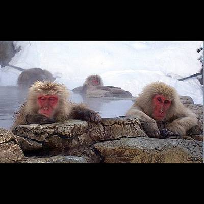 Snow Monkeys In Jigokudani Japan Poster