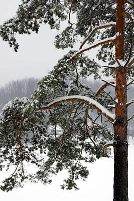 Poster featuring the photograph Snow Pine by Michelle Joseph-Long