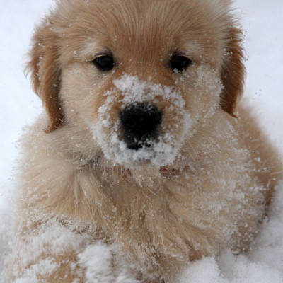 Snow Puppy Poster