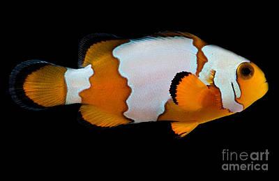 Snowflake Clownfish Poster by Dant� Fenolio