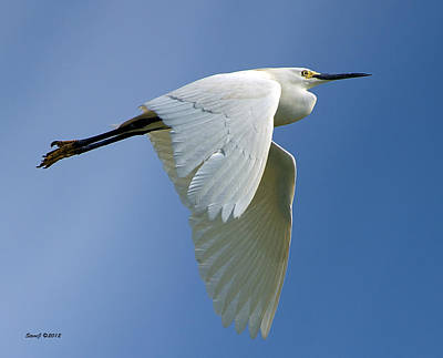 Snowy Egret Fly-by Poster by Stephen  Johnson
