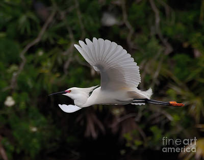 Snowy Egret In Flight Poster by Art Whitton