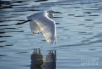 Poster featuring the photograph Snowy Egret In Flight by Craig Lovell