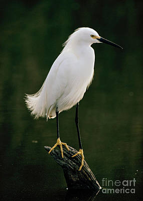 Poster featuring the photograph Snowy Egret Portrait by Doug Herr