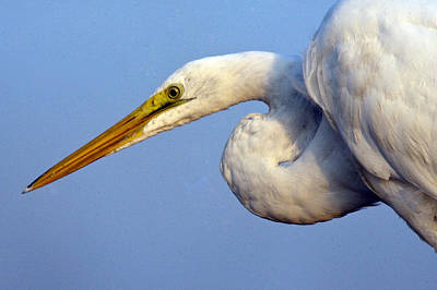 Poster featuring the photograph Snowy Egret Ready by Darleen Stry